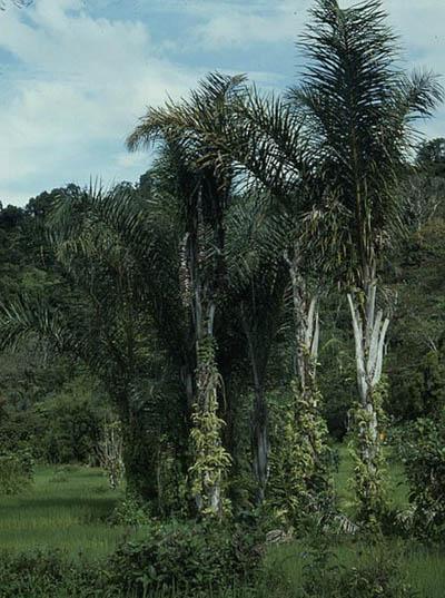 Raffia palms